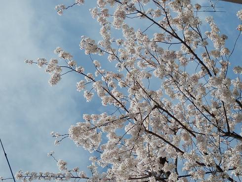 青空に桜  3/28