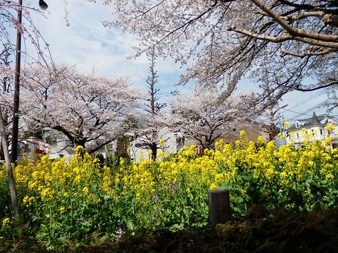 菜の花と桜  3/28