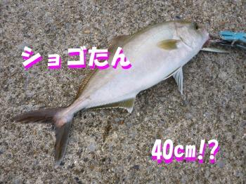 釣源さんのショゴ