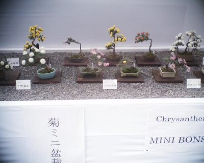 ミニ盆栽・明治神宮秋の大祭奉祝 菊花展:R2