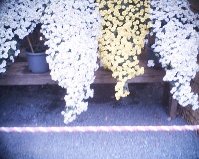 懸崖菊・明治神宮秋の大祭奉祝 菊花展:R2