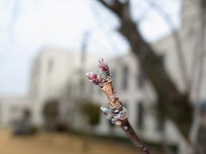 桜 3/22