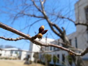 桜 3/27