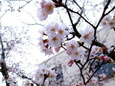 桜 4/14 2