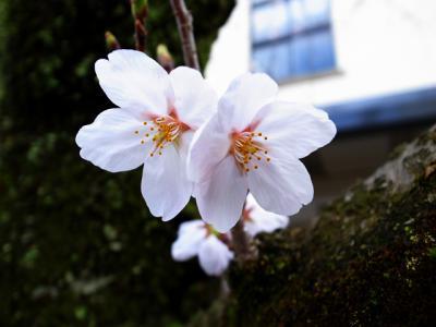桜 4/14 1