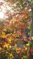 2013楓の木1