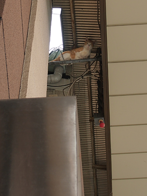 天井ネコ1