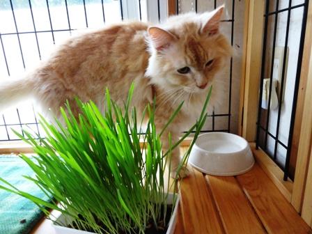 DSC04731 - 猫草