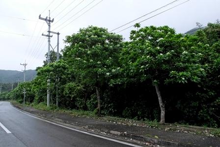 イジュ街路樹
