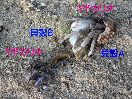 DSC00311 - ヤドカリのコピー