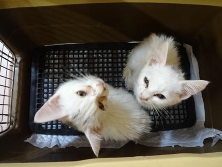DSC02263 - 白2子猫