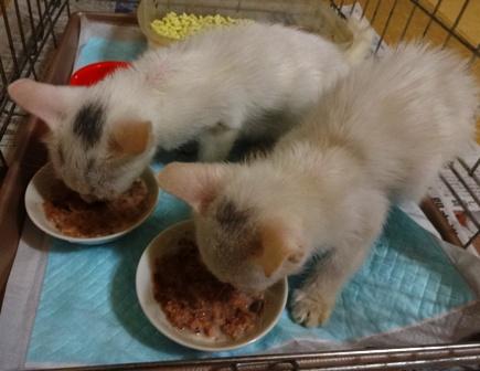 DSC02265 -白2子猫