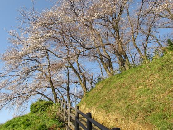 25.3.22八幡山桜 054_ks