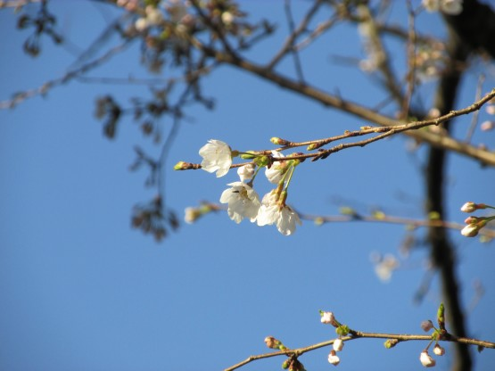 25.3.22八幡山桜 031_ks