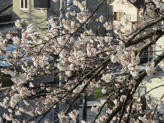 25.3.22八幡山桜 042_ks