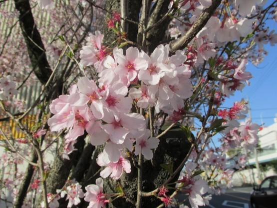 25.3.22八幡山桜 057_ks