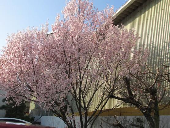 25.3.22八幡山桜 061_ks