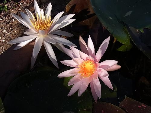 二輪同時開花