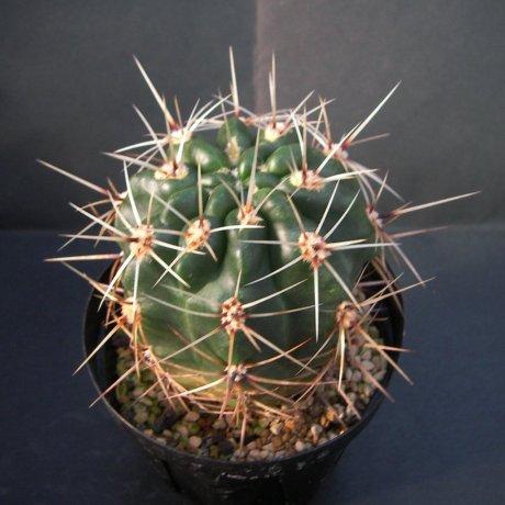 Sany0108--achirasense v villamercedense--GN 83-207-- Cerro La Mogote SL--Piltz seed 3786--ex Milena