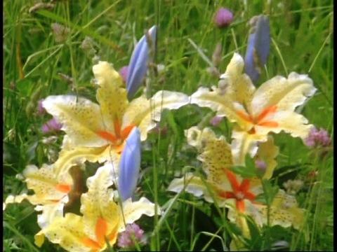 キジェラの花