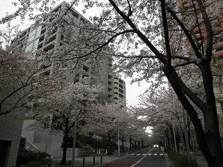 桜いっぱい。