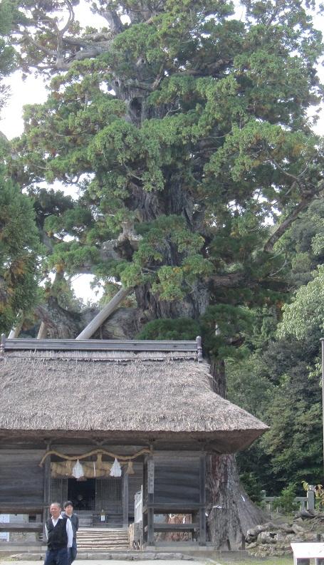 隠岐島二千年杉