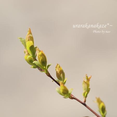 コデマリの芽吹き