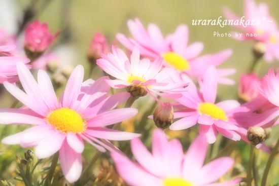 ピンクのマーガレット
