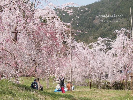神山町コットンフィールド近くの公園の桜