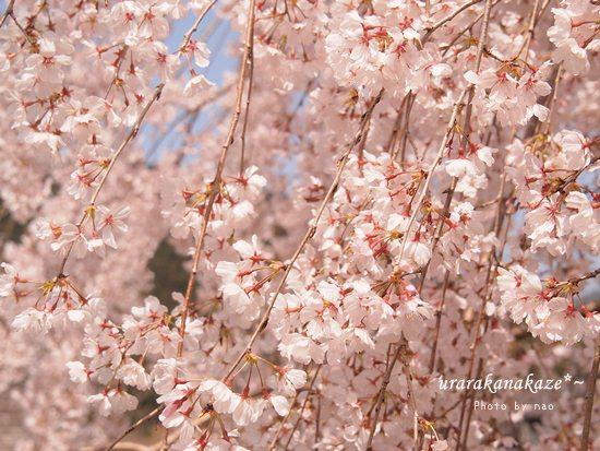 神山町コットンフィールド近くの桜