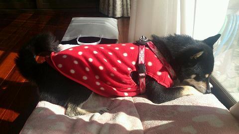 犬服を作ったらしい。 (2)