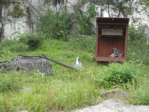 四国 高知 のいち 動物園 ワオキツネザル