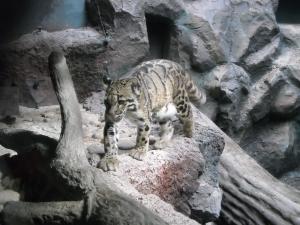 四国 高知 のいち 動物園 ウンピョウ