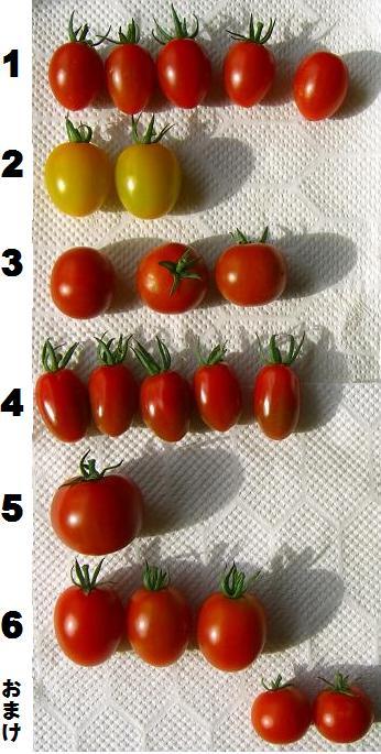 8月15日に収穫したトマト
