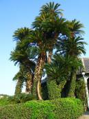 17:32 樹齢300年、国内最大級のソテツ