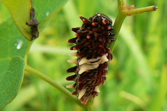 110911 ジャコウアゲハ幼虫
