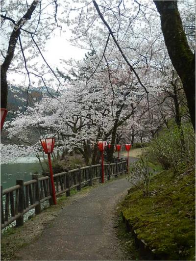 庄川桜_1