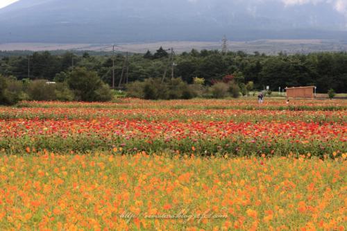 富士の麓のお花畑01