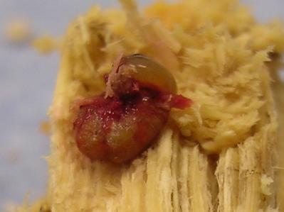 赤い幼虫2