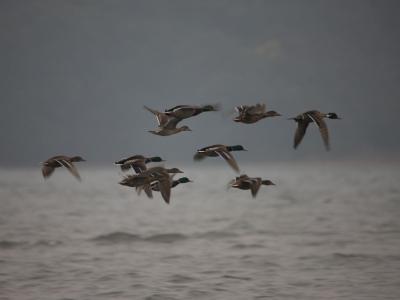 探鳥会   飛び立つマガモの群れ