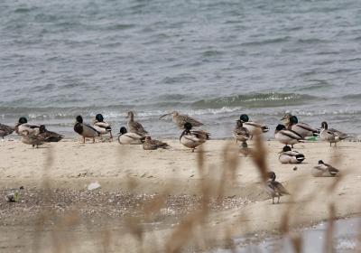 砂州の鳥たち(アシ原前砂州)IMG_0901a11L