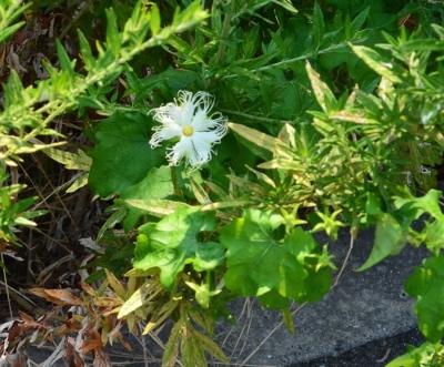 キカラスウリの花