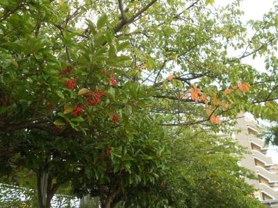 サンゴジュの実と桜の紅葉始め