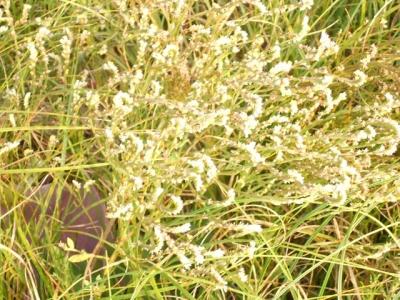 ハマサジの花