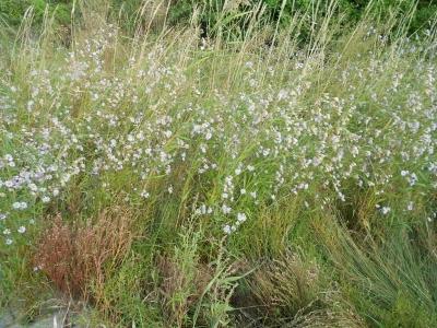 ウラギクの花