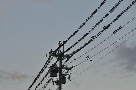 starling-flock1