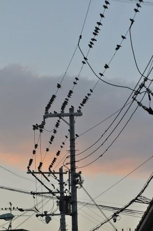 starling-flock2