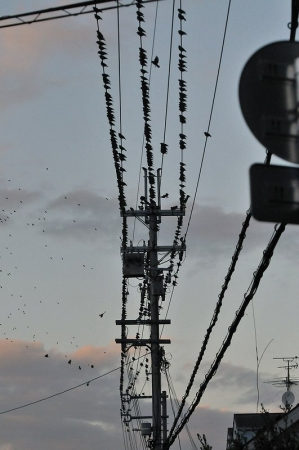 starling-flock4