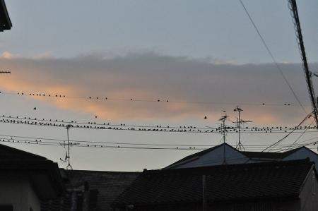 starling-flock5