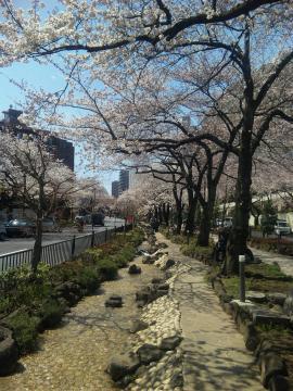 播磨坂の桜並木